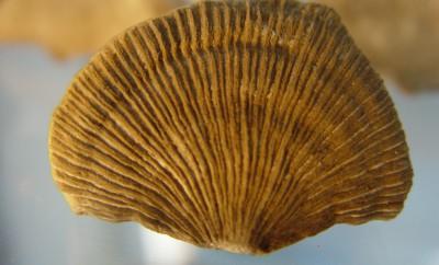Foto Coral solitario